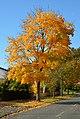 Ahorn im Herbst.jpg