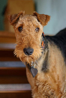 Airedale Terrier Face.jpg
