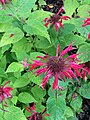 Alaska Botanical Garden ENBLA14.jpg
