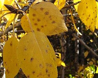<i>Betula neoalaskana</i> Species of birch