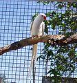 Albino -Psittacula krameri manillensis 2c.jpg