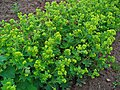 Alchemilla vulgaris 001.JPG