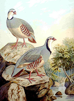 Rock partridge - Rock Partridge
