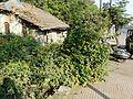 Allamanda cathartica (3052507494).jpg