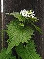 Alliaria petiolata, 2020-04-18, Beechview, 01.jpg