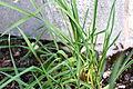 Allium sativum 1 2014-03-26.jpg