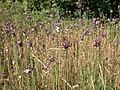 Allium scorodoprasum plant (02).jpg