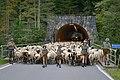 Almabtrieb der Schafe 2014 in Schoppernau 02.JPG
