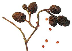 Alnus glutinosa - fruits and seeds.jpg