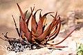 Aloe gariepensis-2127 - kopia - Flickr - Ragnhild & Neil Crawford.jpg