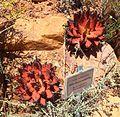 Aloe melanacantha - Karoo Desert NBG 3.jpg