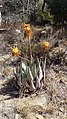 Aloe peglerae X Aloe marlothii00.jpg