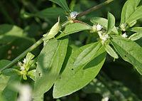 Alternanthera ficoidea W IMG 4185