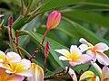 Amancayo - Frangipán - Azuceno(Plumeria rubra fo. tricolor) - Flickr - Alejandro Bayer.jpg