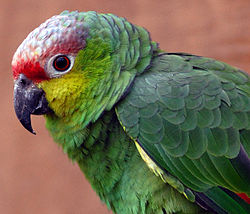 Amazona autumnalis lilacina -Chester Zoo -upper body-8a.jpg
