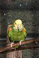 Amazona oratrix -The Parrot Zoo, Friskney, Lincolnshire, England-8a.jpg