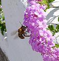 Amegilla sp. - Flickr - gailhampshire (1).jpg