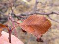Amelanchier alnifolia (3289591556).jpg