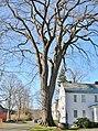 American Elm in Old Deerfield, MA - December 2011.jpg