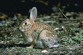 Lapin gris chiné de beige à grandes oreilles, yeux noirs et queue blanche en dessous