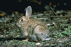 Brush rabbit - Brush rabbit