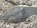 Ammonites on Monmouth Beach, Lyme Regis - geograph.org.uk - 1186417.jpg