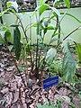 Amomum subulatum-1-JNTBGRI-kerala-India.jpg
