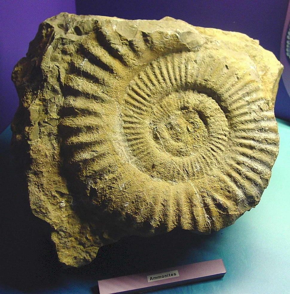 Amonites.Domus da Coruña