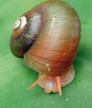 Amphicyclotulus amethystinus.png