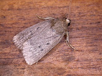 Mouse moth - Image: Amphipyra tragopoginis