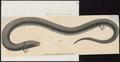 Amphiuma tridactylum - 1700-1880 - Print - Iconographia Zoologica - Special Collections University of Amsterdam - UBA01 IZ11400185.tif