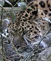 Amur Leopard 7 (5017688305).jpg