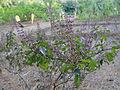 An Ocimum sanctum plant.JPG