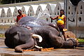 An elephant gets pampered and showered ahead of one of Sri Lanka's most famous Buddhist festivals, the Perahera in Kandy - Flickr - Al Jazeera English.jpg