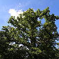 An oak tree at the north of Nuthurst, West Sussex, England.JPG