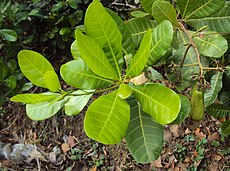 Anacardium occidentale 11.JPG