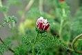 Anacyclus depressus 1zz.jpg