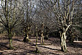 Ancient pollards at Gernon Bushes Nature Reserve, Coopersale Essex England.jpg