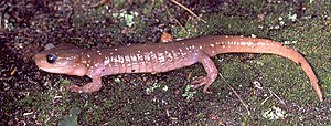 Arboreal salamander - Image: Aneides lugubris