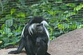 Angola Colobus Watching.jpg