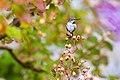 Anna's hummingbird (38472218181).jpg