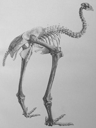 Moa - Anomalopteryx didiformis skeleton