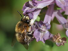 Anthophora plumipes (pelsbier)