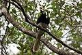 Anthracoceros albirostris (Oriential Pied Hornbill).jpg