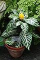 Aphelandra squarrosa - Conservatory of Flowers - San Francisco, CA - DSC03130.JPG