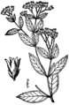 Apocynum × floribundum (as A. medium) BB-1913.png