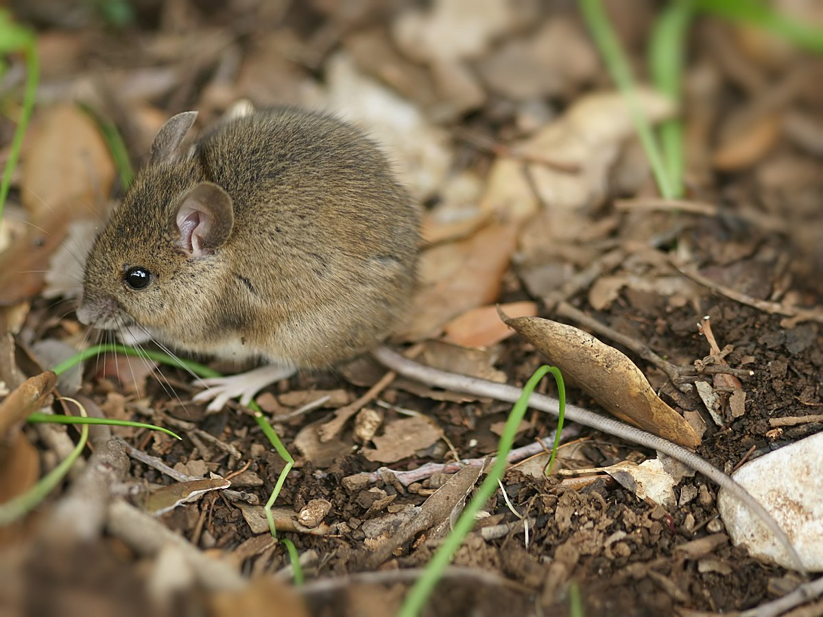 articles about area mice