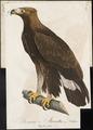 Aquila chrysaëtos - 1800-1812 - Print - Iconographia Zoologica - Special Collections University of Amsterdam - UBA01 IZ18100155.tif
