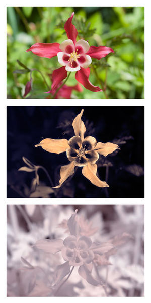 Aquilegia coerulea - cv. 'Crimson Star' in visible light, UV (showing nectar guides), and IR.