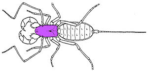Carapace - Diagram of an arachnid, with the carapace highlighted in purple